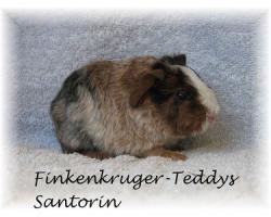 Foto 3 süße Meerschweinchen der Rassen Rex und US-Teddy abzugeben