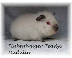 Foto 4 süße Meerschweinchen der Rassen Rex und US-Teddy abzugeben