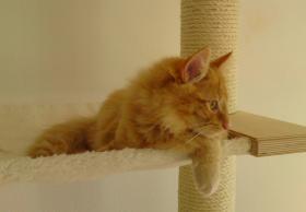 süße Norwegische Waldkatzen suchen ihr neues zu Hause