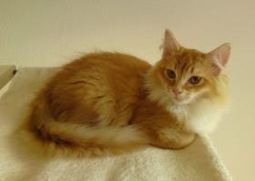 Foto 2 süße Norwegische Waldkatzen suchen ihr neues zu Hause