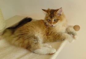 Foto 3 süße Norwegische Waldkatzen suchen ihr neues zu Hause
