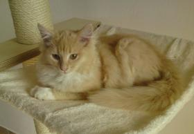 Foto 4 süße Norwegische Waldkatzen suchen ihr neues zu Hause