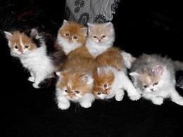 süße Perser Katzen zuverkaufen