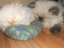 Foto 2 süße Perserbabys
