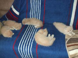 Foto 2 süße Perserkatzenbabys