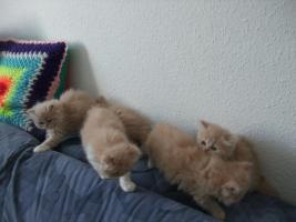 Foto 3 süße Perserkatzenbabys