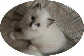 Foto 3 süsse Ragdoll-Kitten suchen neuen Schmusepersonal!