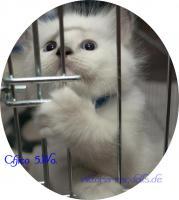 Foto 5 süsse Ragdoll-Kitten suchen neuen Schmusepersonal!