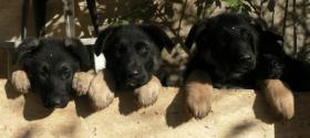süße Schäferhund-Welpen abzugeben