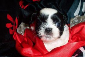 Foto 4 süsse Shih Tzu Welpen suchen ab Juli 2010 ihr neues zu Hause
