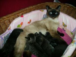 süße Siamkatzenmischlinge
