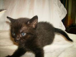 Foto 2 süße Siamkatzenmischlinge