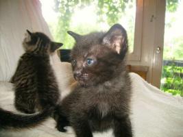 Foto 3 süße Siamkatzenmischlinge