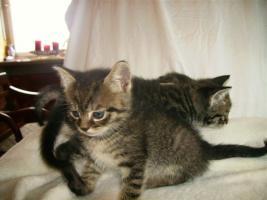 Foto 4 süße Siamkatzenmischlinge
