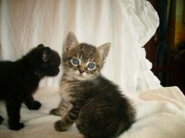 Foto 5 süße Siamkatzenmischlinge