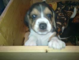 Foto 2 süße beagle-welpen suchen ein zuhause