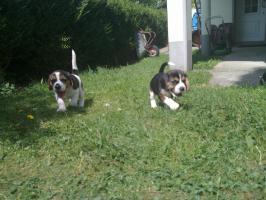 Foto 4 süße beagle-welpen suchen ein zuhause