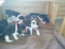 Foto 5 süße beagle-welpen suchen ein zuhause