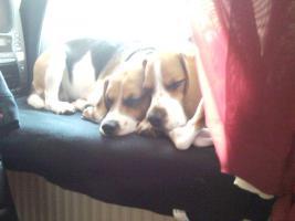 Foto 7 süße beagle-welpen suchen ein zuhause