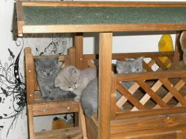Foto 3 süße bkh-Babys suchen noch neue Dosenöffner
