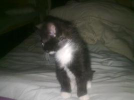 Foto 4 süsse katzenbabys zuverkaufen