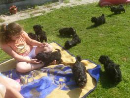 Foto 4 süsse kleine muntere Bolonka Zwetna Welpen (nichthaarend)