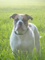 Foto 9 süße old englisch bulldog welpen suchen ein Zuhause
