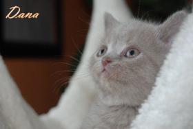 s��e reinrassige Bkh Kitten suchen Kuschelpersonal