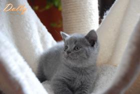 Foto 2 s��e reinrassige Bkh Kitten suchen Kuschelpersonal