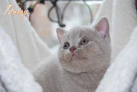 Foto 3 s��e reinrassige Bkh Kitten suchen Kuschelpersonal