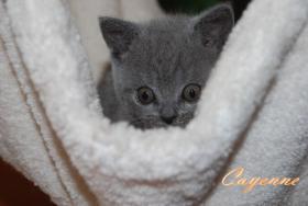 Foto 4 s��e reinrassige Bkh Kitten suchen Kuschelpersonal