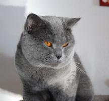 Foto 5 s��e reinrassige Bkh Kitten suchen Kuschelpersonal