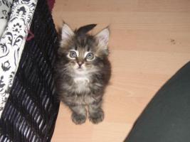 Foto 2 süße reinrassige Main Coon Kitten in grau getigert (wildfarben)