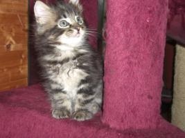 Foto 3 süße reinrassige Main Coon Kitten in grau getigert (wildfarben)