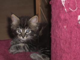 Foto 5 süße reinrassige Main Coon Kitten in grau getigert (wildfarben)