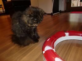 Foto 4 süße reinrassige Perserkatze (Kitten) mit Nase in black/schildpatt