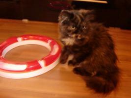 Foto 5 süße reinrassige Perserkatze (Kitten) mit Nase in black/schildpatt