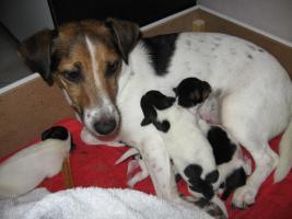 süße reirassige Parson Russells 5 Wochen alt, suchen schönes Zuhause