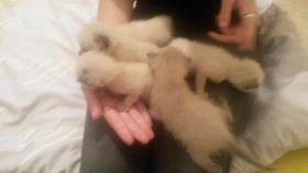 Foto 2 süße siam maine coon kitten