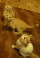 süsse verspielte BKH Kitten