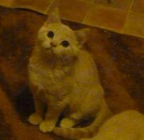 Foto 5 süsse verspielte BKH Kitten