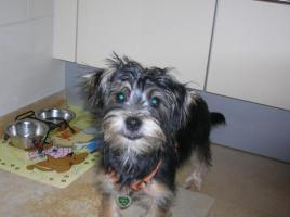 s��e yorkshire terrier mix h�ndin