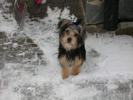 Foto 2 s��e yorkshire terrier mix h�ndin