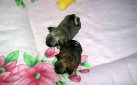 Foto 4 ~~~~~~~~süße~Langhaar-Chihuahua~Welpen~~~~~~~