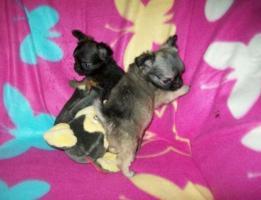 Foto 6 ~~~~~~~~süße~Langhaar-Chihuahua~Welpen~~~~~~~