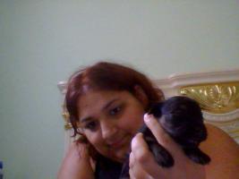 Foto 3 süße  Havaneser-Welpen suchen neues zu Hause