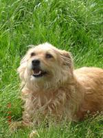 süße, kleine, liebe Terriermixhündin sucht endlich Zuhause für immer!