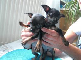 Foto 3 süße  kleine  mini  chihuahua