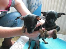 Foto 5 süße  kleine  mini  chihuahua