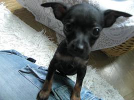 Foto 6 süße  kleine  mini  chihuahua